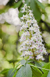 Blossom of horse-chestnut Stock Photography