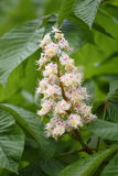 Blossom of horse chestnut tree. (Aesculus hippocastanum royalty free stock photo
