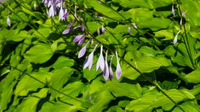 Blossom of Hosta or Plantain lilies at flowerbed close-up, selective focus, shallow DOF stock photography