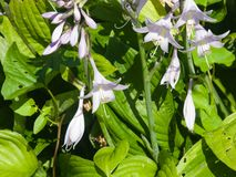 Blossom of Hosta or Plantain lilies at flowerbed close-up, selective focus, shallow DOF