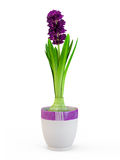 The blossom hyacinth in nice purple pot stock photos