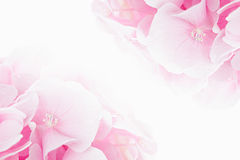 Free Blossom Hydrangea - Pink Flower On A White Background. Royalty Free Stock Images - 79422149