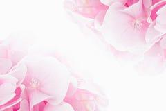 Blossom hydrangea - pink flower on a white background.