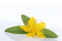 blossom of a hypericum flower Stock Photos
