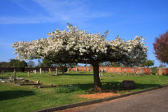 Blossom In The Churchyard Royalty Free Stock Photography
