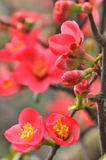 Blossom Japanese quince Royalty Free Stock Photography