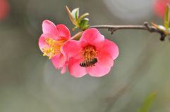 Blossom Japanese quince Royalty Free Stock Photo