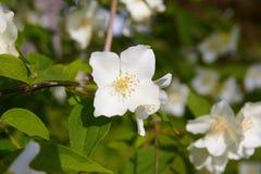 Blossom jasmine flower Royalty Free Stock Photo