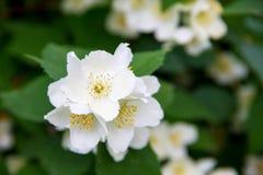 Blossom jasmine flowers on bunch Royalty Free Stock Image