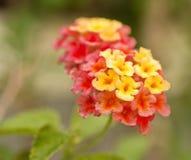 Blossom of lantana camara from close-up. Beautiful tropical flower.Blossom of lantana camara from close-up. Beautiful tropical royalty free stock photos