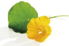 Blossom and leaf of nasturtium (Tropaeolum majus), close-up Royalty Free Stock Photography