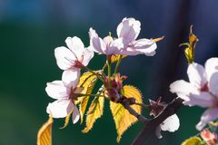 Blossom and leaves of Sakura, a Japanese Blossom Cherry, in front of a sky and grass royalty free stock images