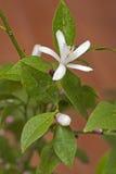 Blossom lemon Royalty Free Stock Photo