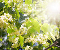 Blossom linden Stock Photography