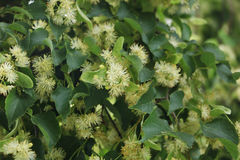 Blossom of linden tree. This plant is good for your health. It helps with cold and temprature. Good for nerves Stock Photography