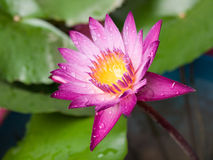 Blossom lotus flower. In Japanese pond; focus on flower royalty free stock photos