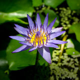 Blossom Lotus Flower. Royalty Free Stock Images