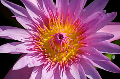 Blossom Lotus Flower. stock photography
