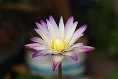 Blossom lotus flower , focus on flower. Lotus flower, flower, close up, water lily, day, pink flower, white, yellow, blossom, freshnes, background, nsture, pond royalty free stock photo