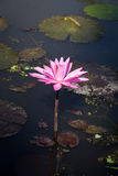 Blossom Lotus Flower Royalty Free Stock Images