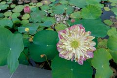 Blossom lotus flower in a pond Royalty Free Stock Image