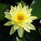Blossom lotus flower Stock Photo