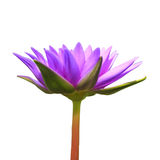 Blossom lotus flowers Royalty Free Stock Images