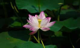 Blossom lotus. Open lotus in the midsummer mature,beautiful Fresh color Stock Photography