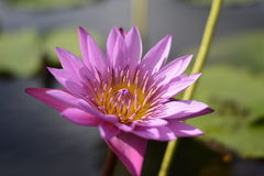 Blossom lotus. Pink lotus in water Stock Images