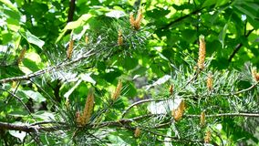 Blossom of lush green pine tree branch blown by breeze. Beautiful vibrant blossom of lush green pine tree branch blown by wind in spring with gorgeous flowers stock footage