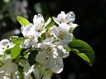 Blossom macro Stock Image