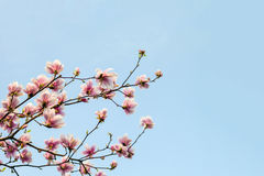 Blossom magnolia branch against blue sky. Royalty Free Stock Image