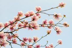 Blossom magnolia branch against blue sky. Stock Image