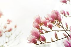 Blossom magnolia flowers . royalty free stock photography