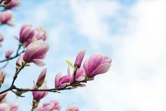 Blossom magnolia flowers on sky backdrop. stock photography