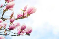 Blossom magnolia flowers on sky backdrop. royalty free stock photo