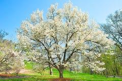 Blossom magnolia tree Royalty Free Stock Image