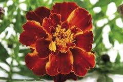 Blossom of marigold (Tagetes), close-up Stock Photo