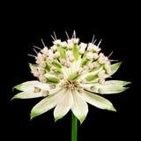 Blossom of a masterwort flower Stock Photos