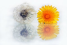 A blossom on a mirror Stock Image