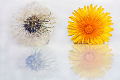 A blossom on a mirror Stock Photography