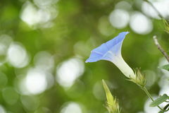 Blossom Morning glory. Closeup Morning glory and abstract background Stock Photo