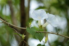 Blossom Morning Glory. Some Morning glory has Heart-shaped leaves Royalty Free Stock Image