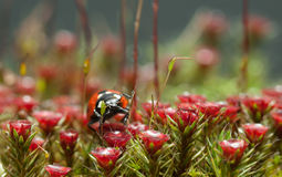 Blossom moss and ladybug portrait Stock Images