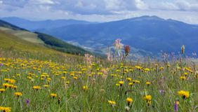 Blossom in the mountains. In Ukrainian Carpathians Royalty Free Stock Images