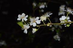 Blossom at night Royalty Free Stock Image
