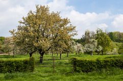 Blossom. Old apple trees in the grassland Royalty Free Stock Photography