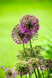 Blossom onion Royalty Free Stock Images