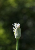 Blossom onion bud Royalty Free Stock Images
