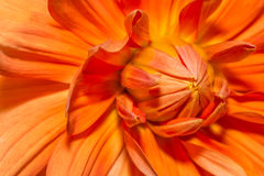 Blossom orange flower Stock Image